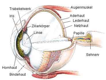 Das Auge Aufbau Und Funktionsweise Des Menschlichen Auges